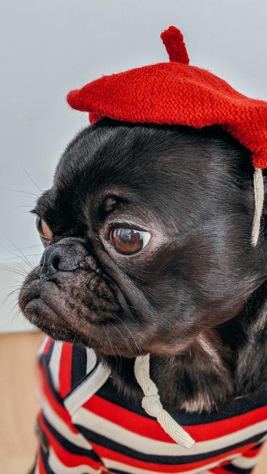 斗牛 宠物狗 帽子 衣服 可爱