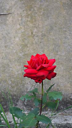 玫瑰 鲜花 盛开 路边 墙角