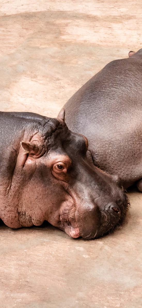 河马 杂食 哺乳类 体型