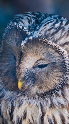 猫头鹰 夜视 眯眼 羽毛