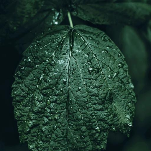 绿叶 水珠 绿植 树叶