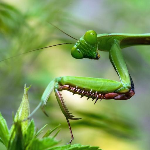 昆虫 螳螂 枝叶 节肢昆虫