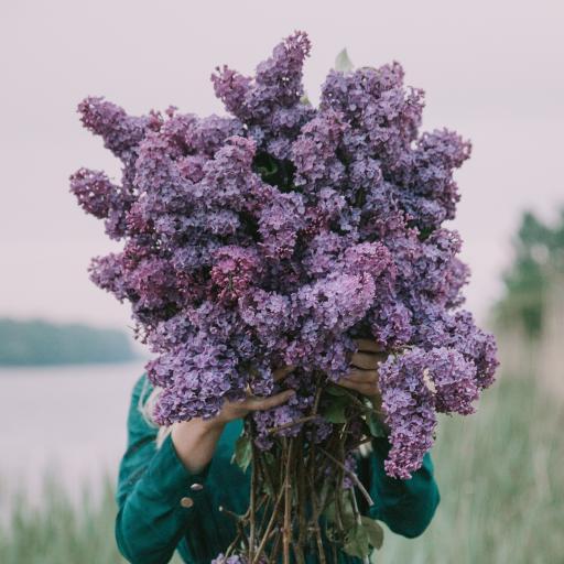 丁香 花簇 花束 大量 鲜花