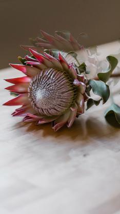 鲜花 帝王花 南非共和国 国花