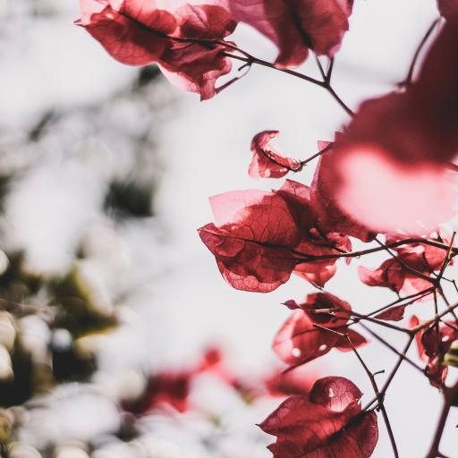 鲜花 三叶梅 红色