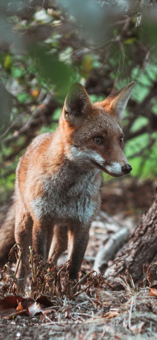 狐貍 戶外 機智 狡猾  樹林