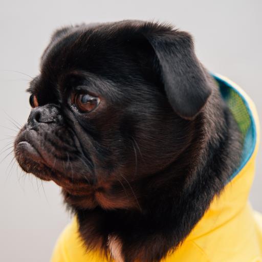 巴哥 侧身 宠物狗 黄衣