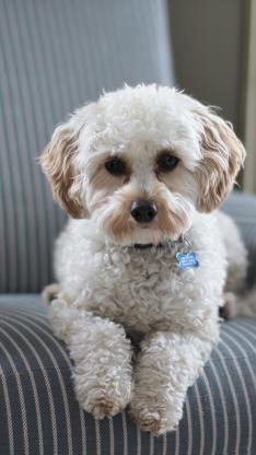 泰迪 宠物狗 沙发 犬类