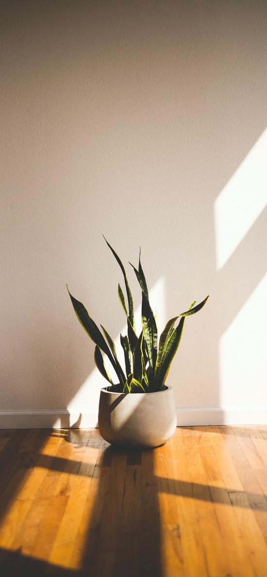 盆栽 龙舌兰 绿化 观赏