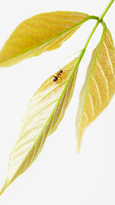 蚂蚁 枝叶 嫩黄 爬行