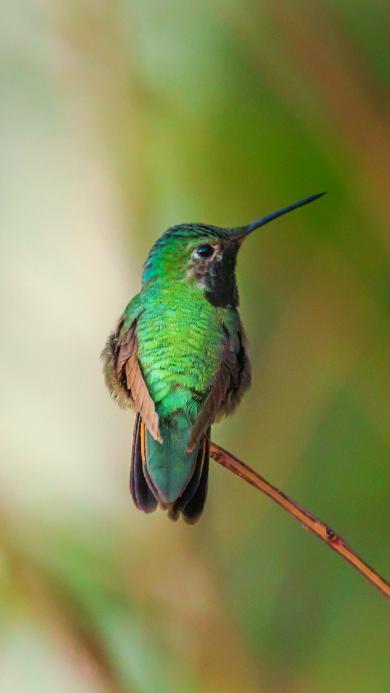 飞鸟 蜂鸟 迷你 绿色