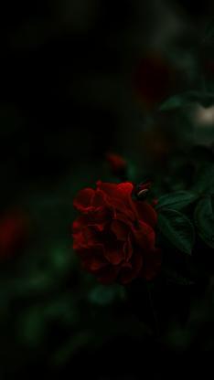 鲜花 花瓣 盛开 暗夜