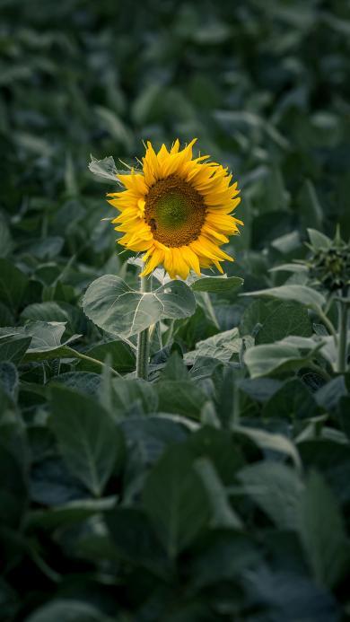 向日葵 向阳 葵花