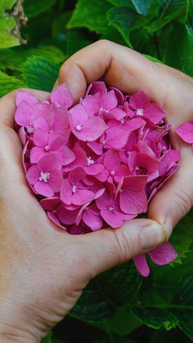 绣球花 鲜花 手势 比心 浪漫