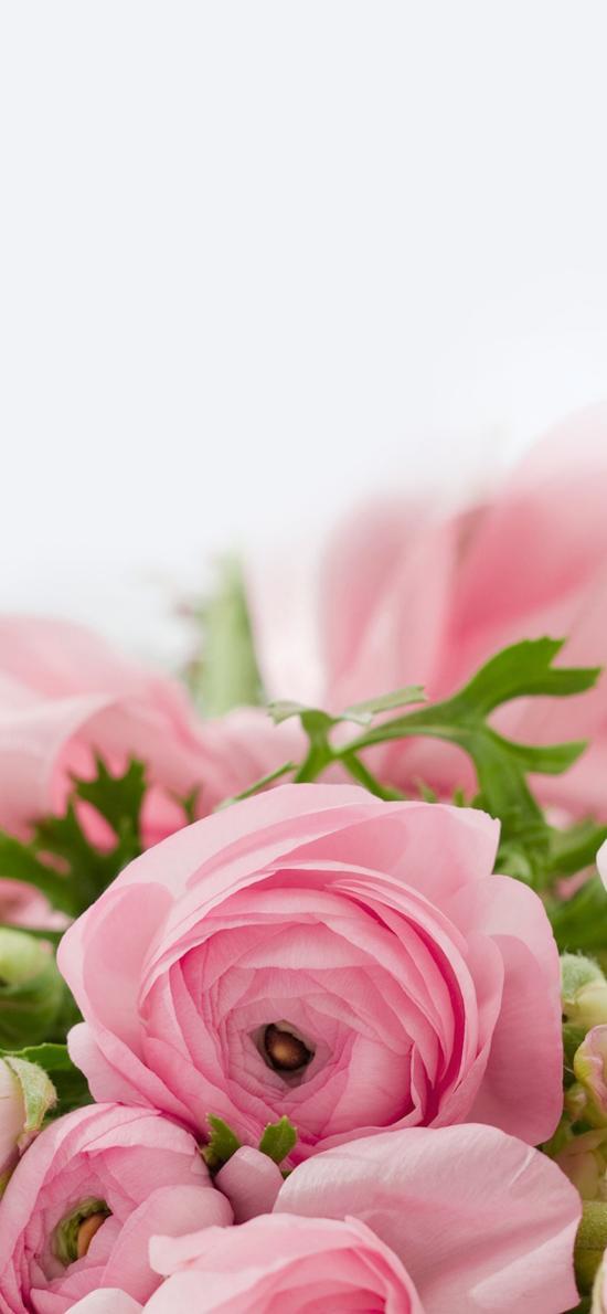 花毛茛 鲜花 粉色 盛开 浪漫