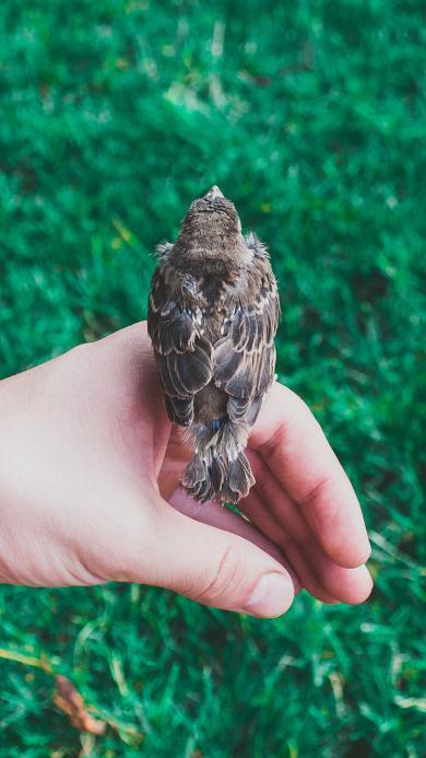 麻雀 鸟 手 栖息 草坪