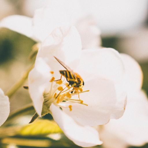 蜜蜂 昆虫 花朵 采蜜