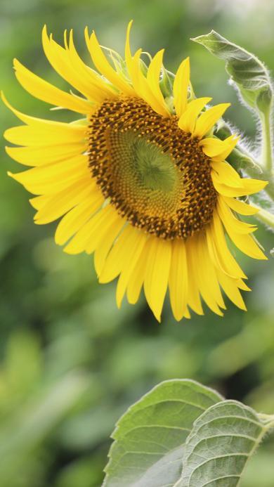 向日葵 鲜花 盛开 绽放