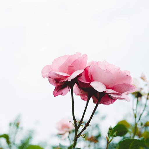 鲜花 盛开 花朵 枝叶 天空