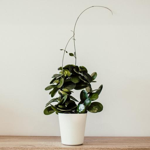 盆栽 绿植 枝叶 生长