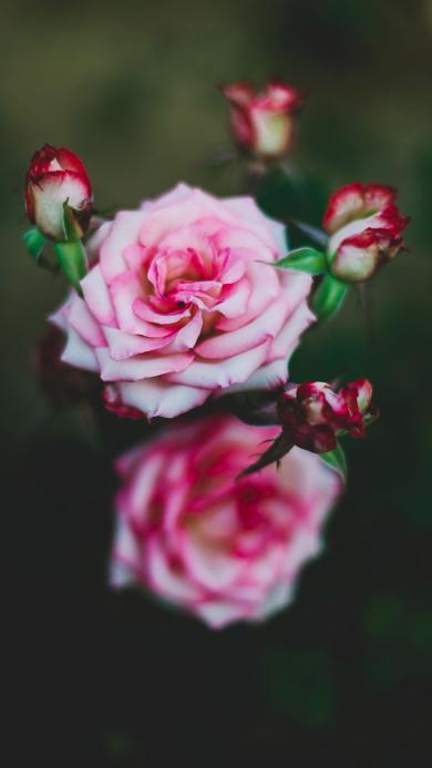 鲜花 玫瑰 盛开 花苞