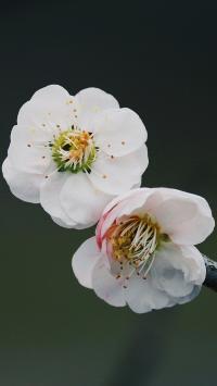 鲜花 盛开 梅花 花蕊