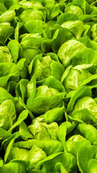 包菜 蔬菜 绿色 密集 丰收 水滴