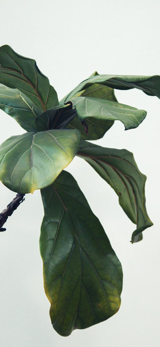 琴叶榕 绿植 观赏性 枝叶