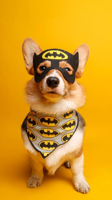 宠物狗 柯基犬 蝙蝠侠 衣服