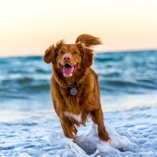 海滩 奔跑 新斯科舍诱鸭 寻回犬