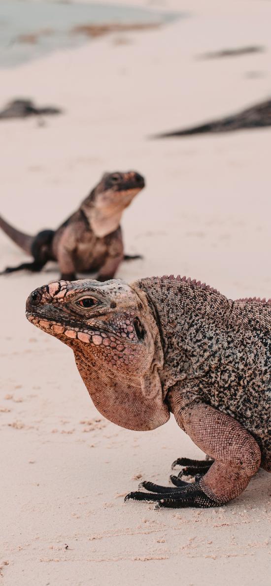 蜥蜴 爬行 沙滩 海滩