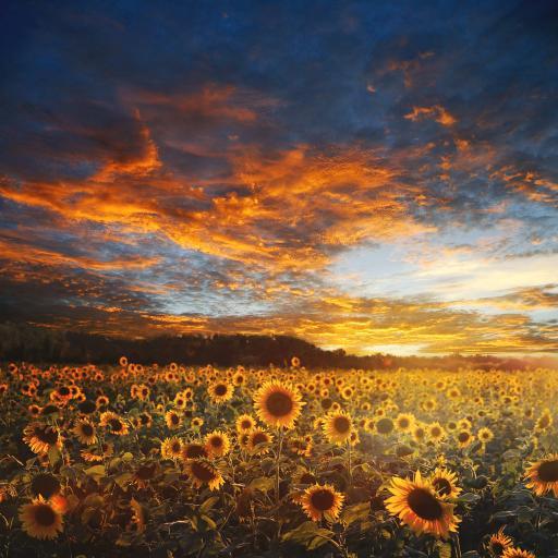 向日葵 花海 鲜花 盛开 阳光