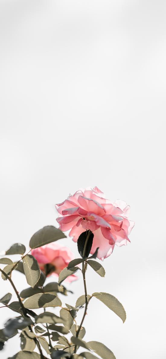 鲜花 枝叶 盛开 花瓣