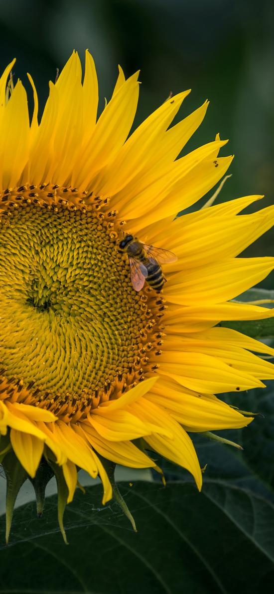 蜜蜂 葵花 向日葵 昆蟲