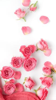 玫瑰 鲜花 浪漫 粉色