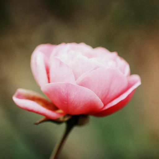 鲜花 粉色 绽放 淡雅 (2)