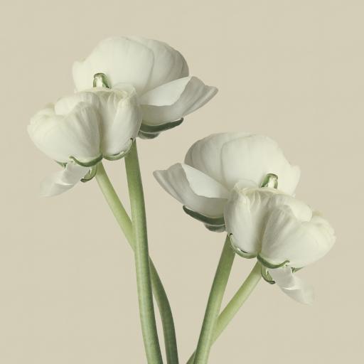 花毛茛 鲜花 淡雅 唯美
