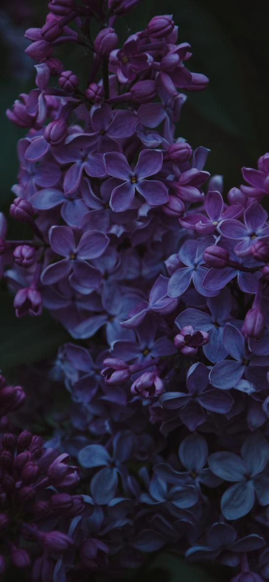 风信子 盛开 鲜花 特写 暗黑