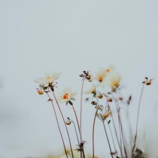 鲜花 小菊花 白色 绽放
