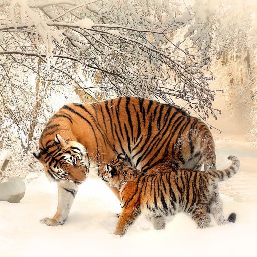 老虎 凶猛 猛兽 雪地