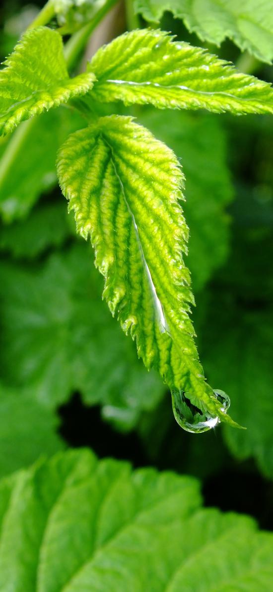 绿叶 水珠 露珠 嫩芽