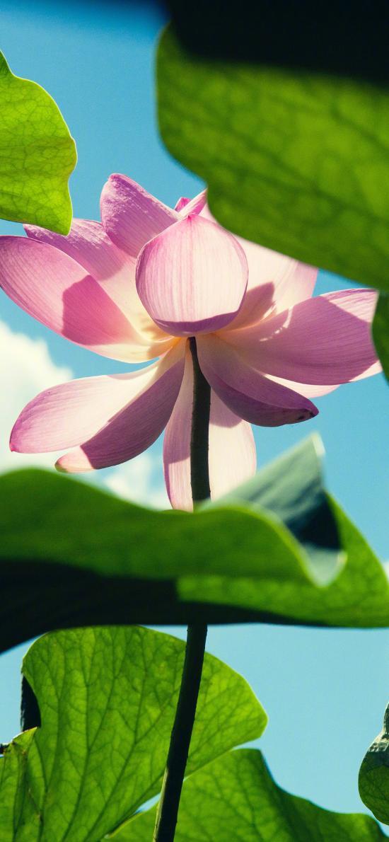 荷花 鲜花 盛开 荷塘 荷叶 唯美