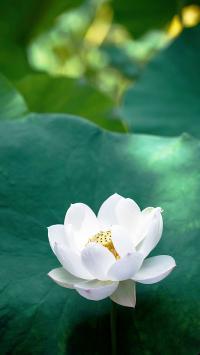 荷花 鲜花 盛开 荷塘 荷叶