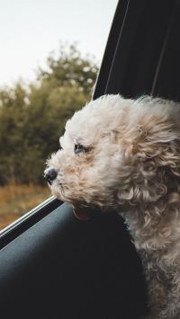 车窗 宠物狗 泰迪犬
