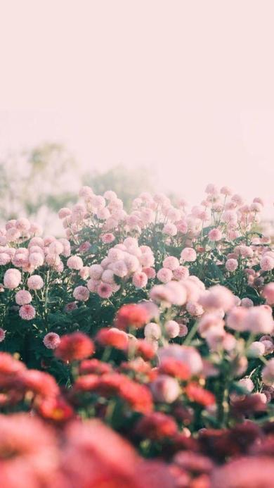 花田 鮮花 球狀 粉色
