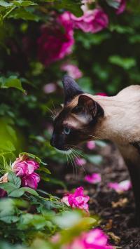 暹罗 猫咪 花丛 户外