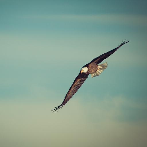 老鹰 飞行 翅膀 飞翔 天空 翱翔