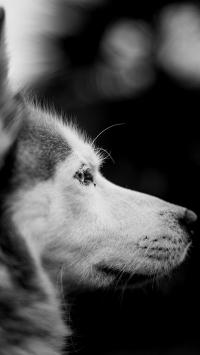 狼狗 灰白 侧颜  凝视