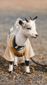 羊 小羊 可爱 衣服 牲畜