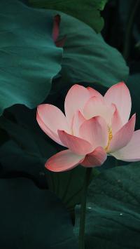 荷花 荷塘 荷叶 鲜花